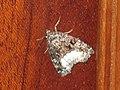 Protodeltote pygarga - Marbled white spot - Совка-листовёртка тёмно-бурая (41056806351).jpg