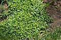 Prunella vulgaris 1zz.jpg