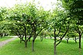 Prunus armeniaca - Urban Greening Botanical Garden - Kiba Park - Koto, Tokyo, Japan - DSC05294.jpg