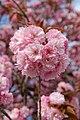 Prunus serrulata Kanzan blossom Jardin des Plantes 2013-04-20 n1.jpg