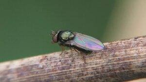 File:Psilopa cf nitidula (1) - 2013-09-13.webm