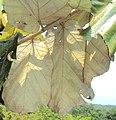 Pterospermum diversifolium 05.JPG