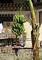 Punakha-24-Banane-2015-gje.jpg