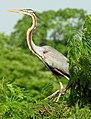 Purple Heron Ardea purpurea by Dr. Raju Kasambe DSCN7248 (3).jpg