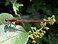 Pyrrhosoma nymphula (Coenagrionidae) (Large Red Damselfly) - (imago), Mook, the Netherlands.jpg