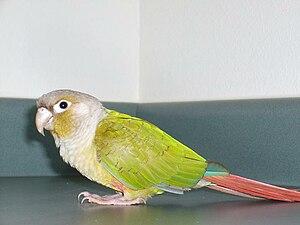 Conure - Cinnamon green-cheeked conure