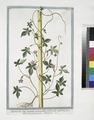Quamoclit foliis digitatis, pentaphyllos, pedunaculis unifloris, flore dilute purpurascente - Ipomoea (NYPL b14444147-1125015).tiff