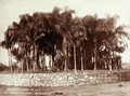 Queensland State Archives 5120 Palms in Gardens Rockhampton c 1897.png