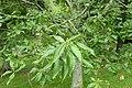 Quercus castaneifolia kz02.jpg