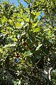 Quercus chapmanii (23556191743).jpg