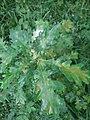 Quercus pubescens, Fagaceae 01.jpg