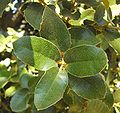 Quercustomentella1.JPG