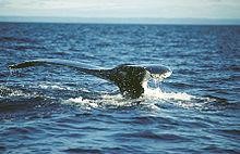 Queue de baleine Manicouagan Québec.jpg