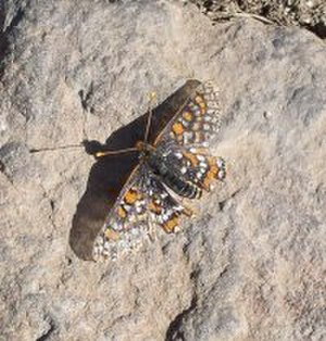 California State Route 125 - The Quino checkerspot butterfly, one of the endangered species that was the subject of environmental concerns related to the tollway construction