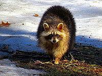 Raccoon (Procyon lotor).JPG
