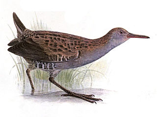 Water rail - R. a. korejewi