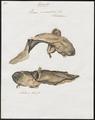 Rana paradoxa - 1700-1880 - Print - Iconographia Zoologica - Special Collections University of Amsterdam - UBA01 IZ11500017.tif