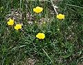 Ranunculus carinthiacus 2.jpg