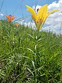 Rare Yellow Wood Lily (30603573588).jpg