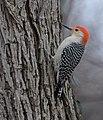 Red-bellied Woodpecker (33186955632).jpg