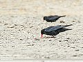 Red-billed Chough (Pyrrhocorax pyrrhocorax) (35476643784).jpg
