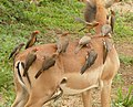 Red-billed Oxpeckers (Buphagus erythrorhynchus) on impala ... (39788676863).jpg