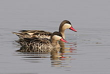 Red-billed Teal, Anas erythrorhyncha at Borakalalo National Park, South Africa (9900158025).jpg