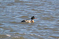 Red-breasted Merganser (Mergus serrator) (15713114413).jpg