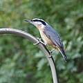 Red-breasted Nuthatch (40765581044).jpg