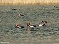 Red-crested Pochard (Netta rufina), Northern Shoveler (Anas clypeata) & Eurasian Coot (Fulica atra) (36238549210).jpg