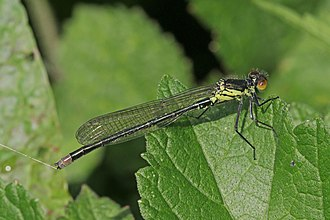 Erythromma najas - Image: Red eyed damselfly (Erythromma najas) teneral male