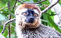 Red-fronted brown lemur 6.JPG