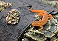Red Eft - Flickr - michaelrighi.jpg