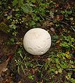 Red River Gorge - Calvatia gigantea 1.jpg