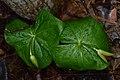 Red Trillium (Trillium erectum) - Kitchener, Ontario 02.jpg