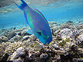 Red sea-reef 3217.jpg