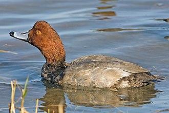 Redhead (bird) - Image: Redhead duck 1
