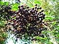 Reife Früchte des Schwarzen Holunder.JPG
