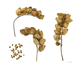 Rhinanthus minor - Capsules and seeds