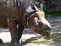 Rhinoceros-unicornis-2.jpg