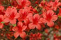 Rhododendron 'Picador' E-1 Flowers 2.JPG