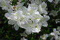 Rhododendron Delaware Valley White 5802.JPG