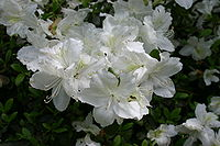 Rhododendron Delaware Valley White 5802.JPG
