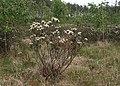 Rhododendron tomentosum kz25.jpg