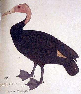 Pink-headed duck - Painting by Bhawani Das, of a living specimen in the collection of Lady Impey, circa 1777. This accurately records the colour of the legs.
