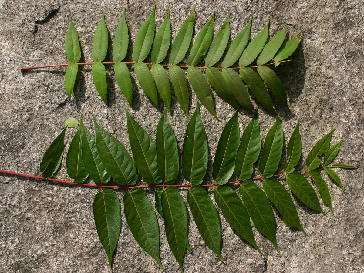 feuille de frêne arbre