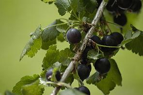 Jostabeeren, reife Früchte