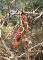 Ribes speciosum 5.jpg