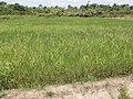 Rice experiments at CARI's HQ in Suakoko, Bong county, Liberia - panoramio (5).jpg