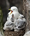 Rissa tridactyla -Staple Island, Farne Islands, Northumberland, England -adult and chicks-8.jpg